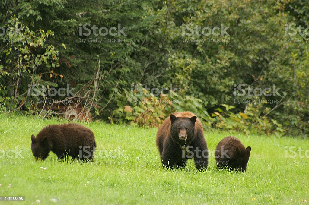Mother bear with her two cubs. stock photo