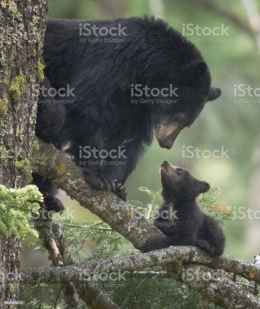 A Mother Black Bear With Her Cub Stock Photo