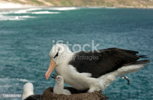 A mother Black Browed Albatross and newborn chick.  The chick is in the nest and other birds are flying in the background