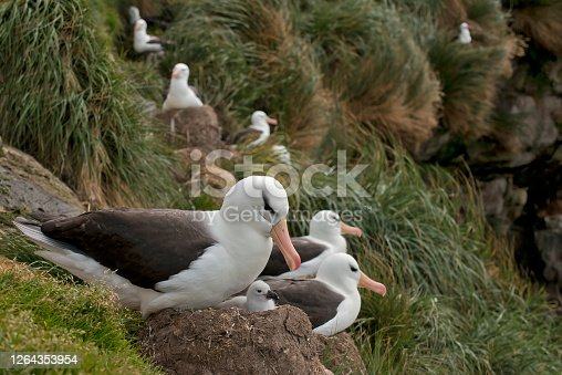 A mother Black Browed Albatross and newborn chick.  The chick is in the nest and other birds are nesting in the background
