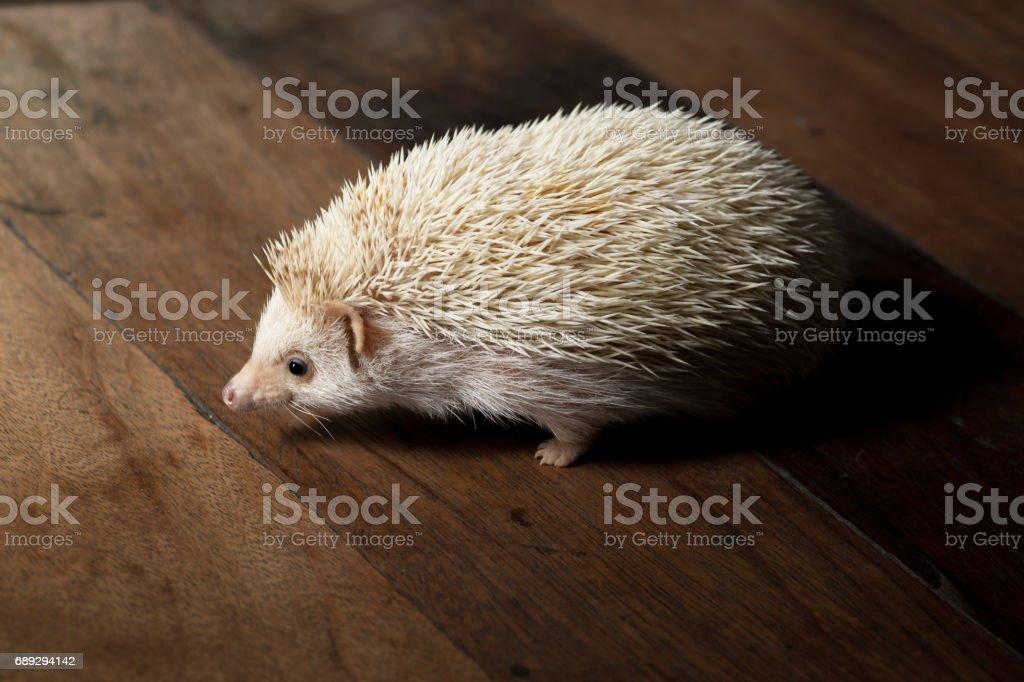 Mother breed dwarf hedgehog stock photo
