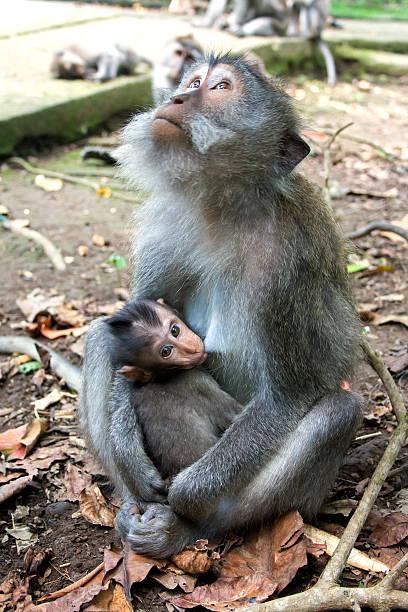 Mother brestfeeding her baby monkey stock photo