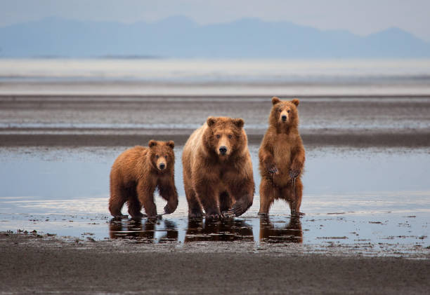 Mother Brown Bear and Cubs in Alaska stock photo