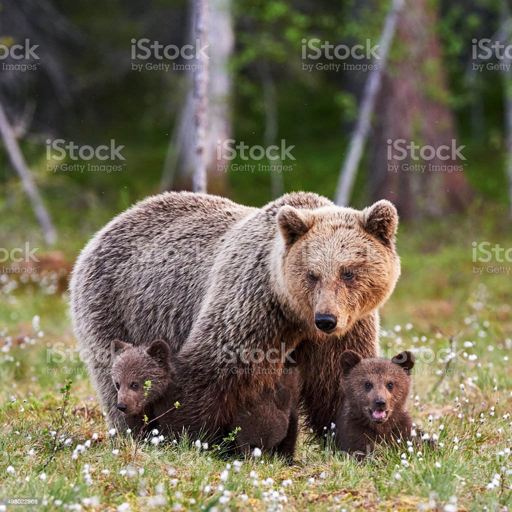 Mutter mit ihren Jungtieren brown bear – Foto