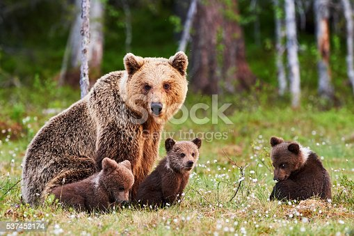 istock Mother brown bear and her cubs 537452174