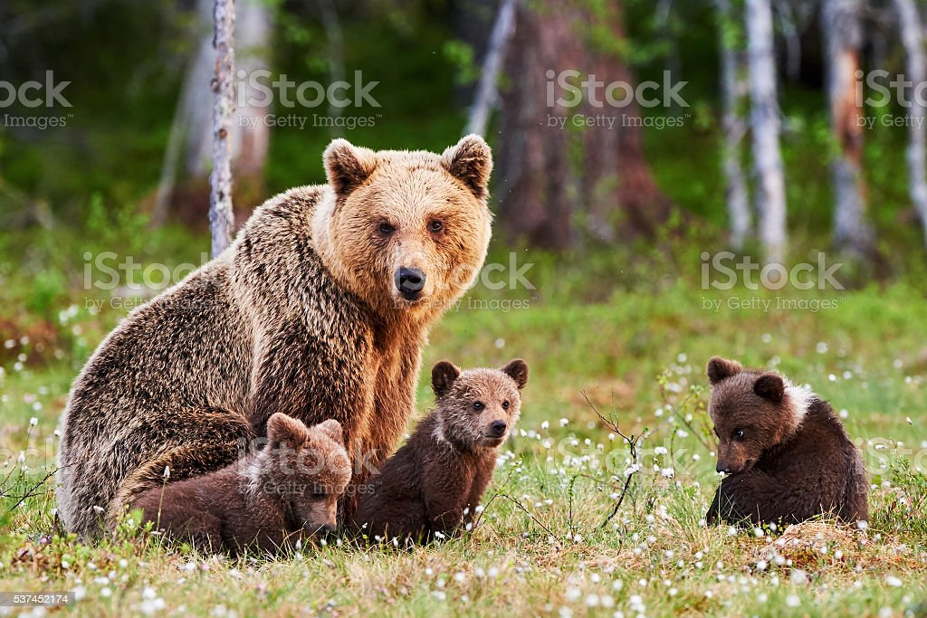 Madre y su brown bear cubs - foto de stock