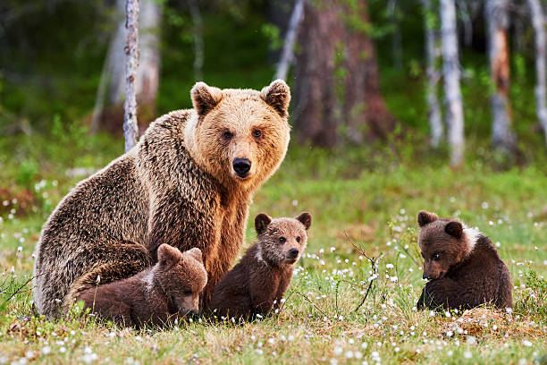 mother brown bear and her cubs - bears 個照片及圖片檔