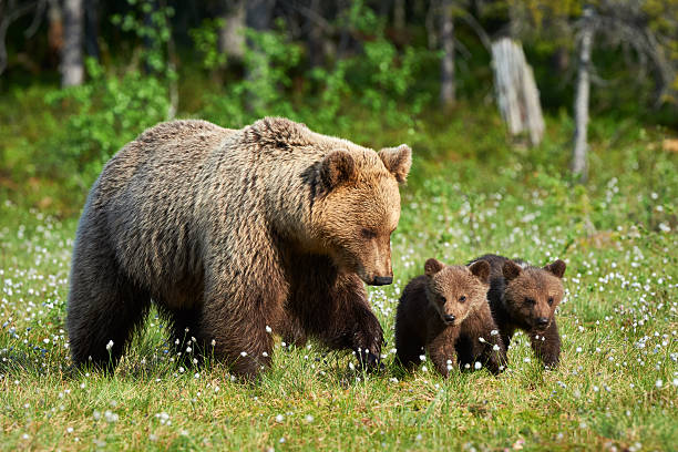 Mother brown bear and her cubs stock photo