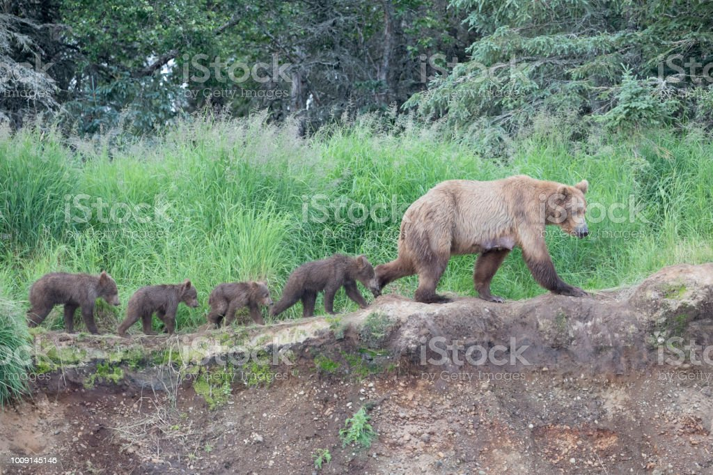 Mother Brown Bear walking her four cubs stock photo