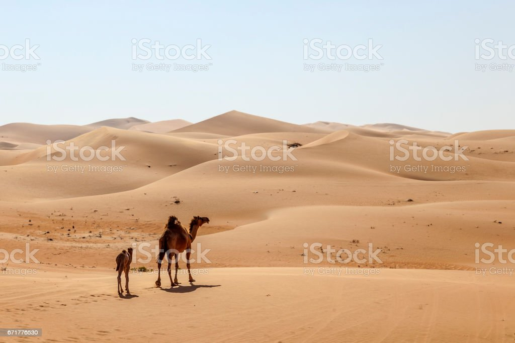 Mother camel with calf in the desert