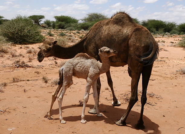 Mother Camel with Young, Somaliland, Somalia stock photo