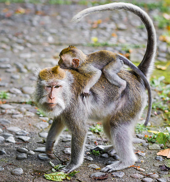 Mother Carring Baby of Long-tailed Macaques on Bali, Indonesia stock photo