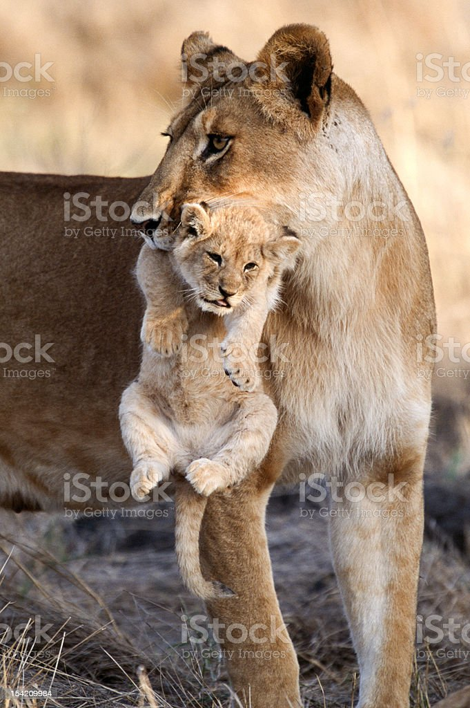 Mother carrying Cub stock photo