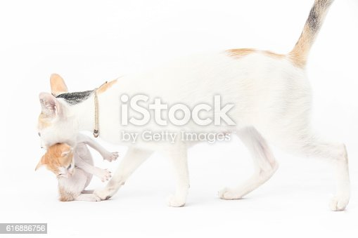 626958754 istock photo Mother cat carrying kitten to the safe place 616886756