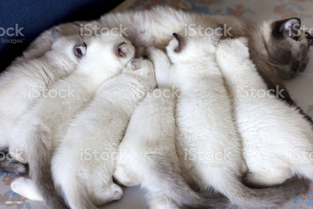 Mother cat feeding kittens royalty-free stock photo
