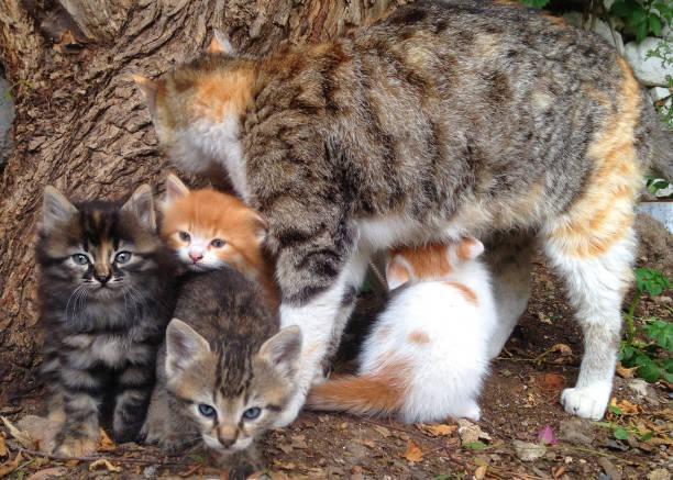 Mother cat feeding with babies picture id1083220256?b=1&k=6&m=1083220256&s=612x612&w=0&h=2lfwzlnbpqisci eqzginuir58vxo08azcdteexrjga=