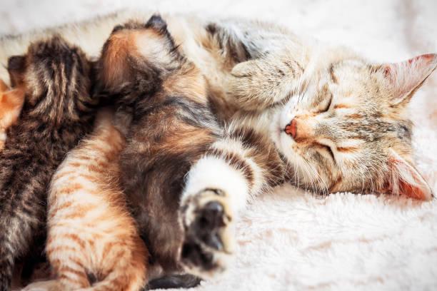 Mother cat nursing baby kittens picture id1070427582?b=1&k=6&m=1070427582&s=612x612&w=0&h=hyqlseeqevtqj38ruhybsfdv7eih0xkklu9lqjnitd4=