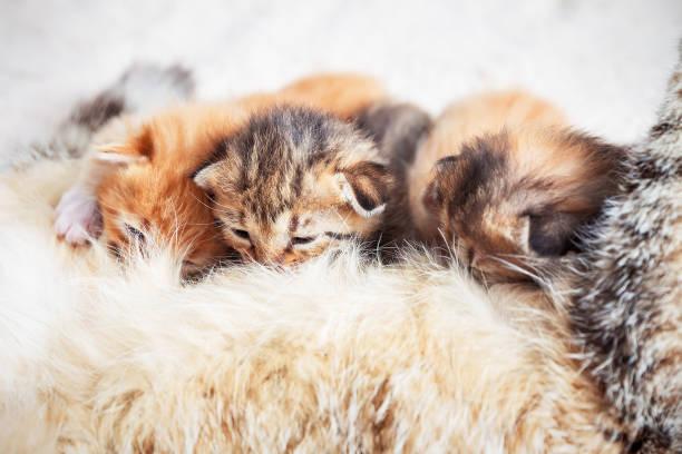Mother cat nursing baby kittens picture id1070428166?b=1&k=6&m=1070428166&s=612x612&w=0&h=bssfvkflbdi tytzbkd7xbcfxlftzcxiylvk538t8c0=