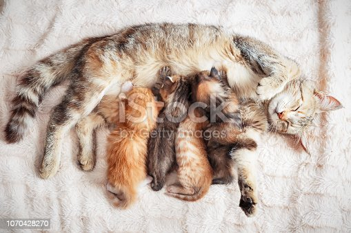 Grey mother cat nursing her babies kittens, close up