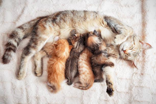 Mother cat nursing baby kittens picture id1070428270?b=1&k=6&m=1070428270&s=612x612&w=0&h=thgwjkky0o0tb3vstjpup4tk5i3yy1z8gkkcchyx8ak=