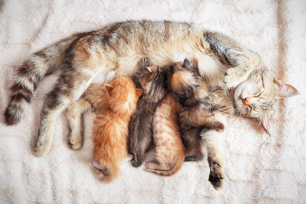 mother cat nursing baby kittens - котёнок стоковые фото и изображения