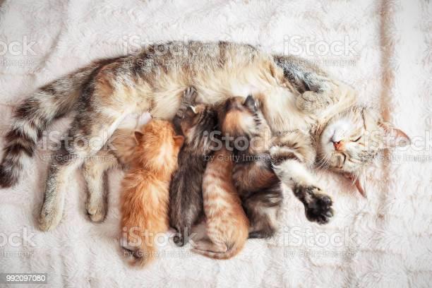 Mother cat nursing baby kittens picture id992097080?b=1&k=6&m=992097080&s=612x612&h=9n6xr bgyqyv8qxqbzt d7fnz ccy4rpgkg lpbqity=