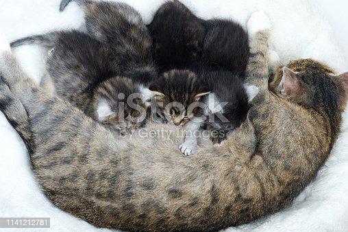 istock Mother cat nursing her babies kittens 1141212781