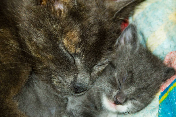 Mother cat sleeping with her newborn kitten picture id683332702?b=1&k=6&m=683332702&s=612x612&w=0&h=y5ifuujfttmpo1awszmm6dcm3ovjjazys6tbmh7froo=