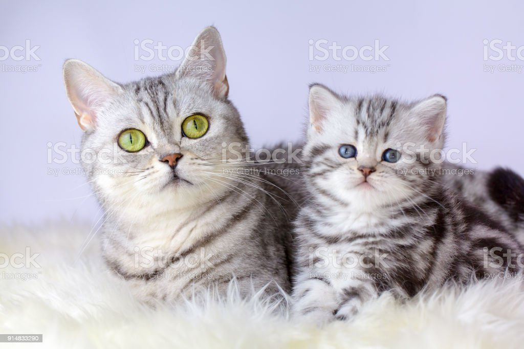 Mutter Katze mit jungen Kätzchen auf Schaf Fell – Foto