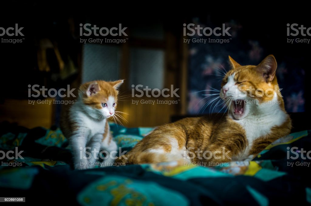 Mother cat yawns by her curios kitten on the bed stock photo