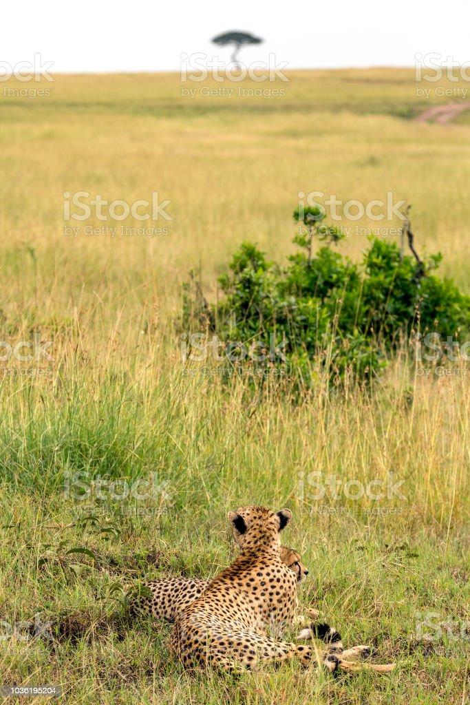 Mother Cheetah and cub at wild with acacia tree stock photo