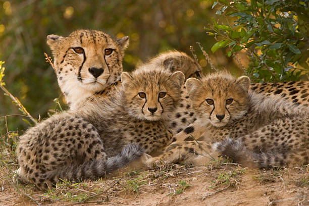mother cheetah and cubs - jachtluipaardwelp stockfoto's en -beelden