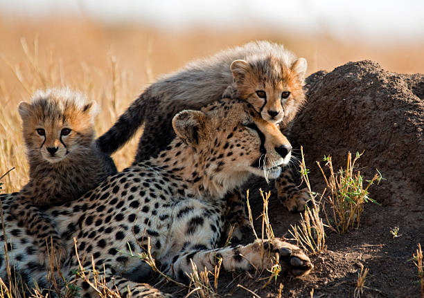 a mother cheetah and her adorable cubs - jachtluipaardwelp stockfoto's en -beelden