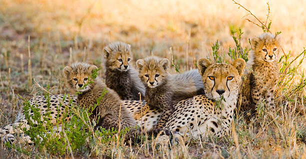 Mother cheetah and her cubs in the savannah stock photo