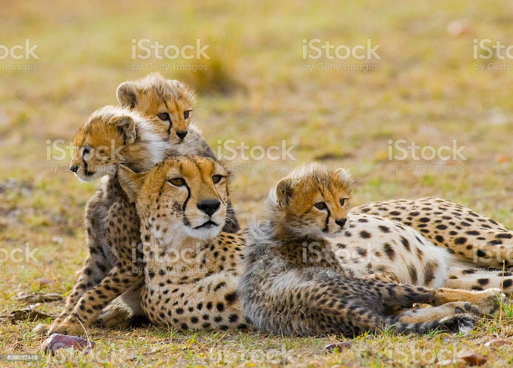 Mother cheetah and her cubs in the savannah. stock photo