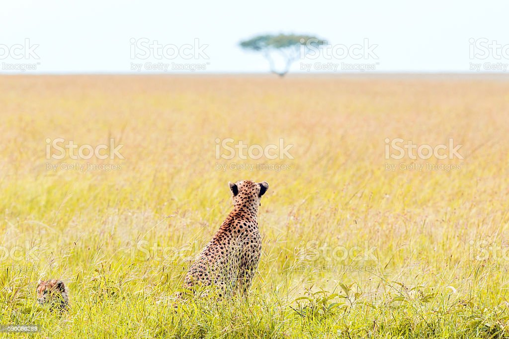 Mother Cheetah and its baby royalty-free stock photo