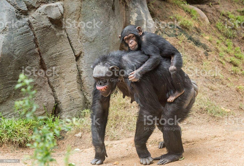 Mother Chimpanzee and her newborn stock photo