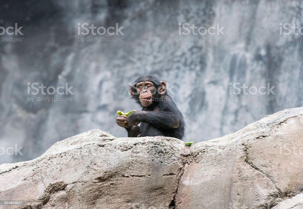 Mother Chimpanzee And Her Newborn Stock Photo & More