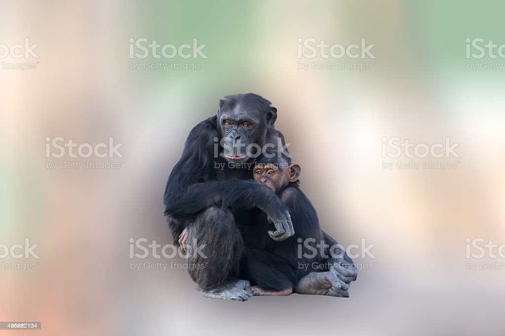 Mother chimpanzee hugging her baby. A loving moment between animals. stock photo