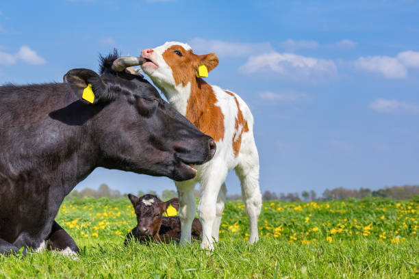 Mother cow and newborn calves in meadow stock photo