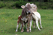 A mother cow lets her two calves drink by the udder. Drinking milk from the mother. Brown cattle in the pasture