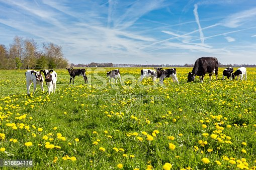 Mother cow with newborn calves in green grass with yellow dandelions during spring. Grazing black spotted young calves in green meadow with flowers in spring season. The blooming and blossoming flowers in the green pasture are a sign of spring season. I took this picture in the netherlands. Concept of agriculture, farming, spring, spring time, farm animal, animal, farmer, mother.