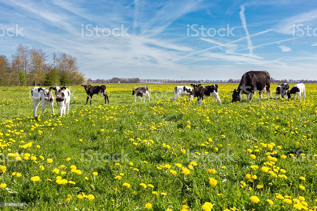 Mother cow with newborn calves in meadow with yellow dandelions stock photo