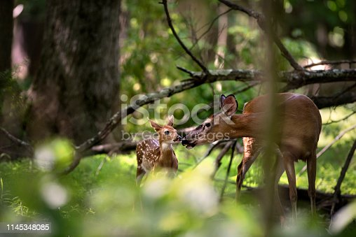A mother deer and fawn stand together in a forest in Wyckoff, New Jersey.