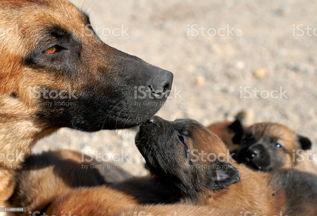 mother dog and puppy royalty-free stock photo