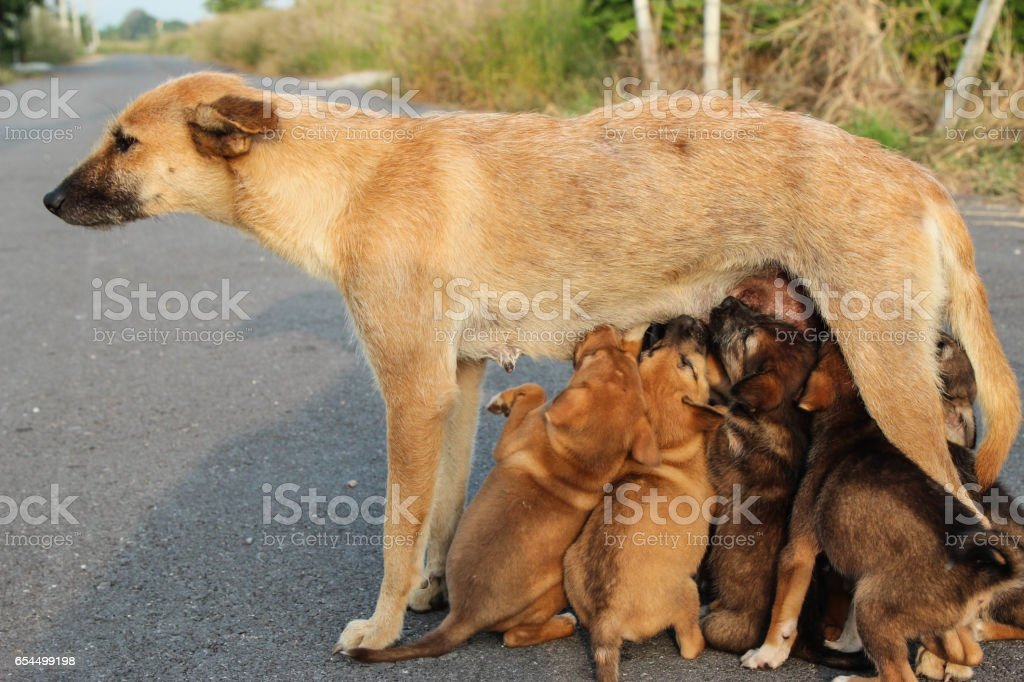 Mother dog  feeding her puppies stock photo