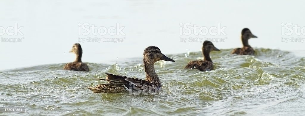 mother duck and baby ducklings royalty-free stock photo
