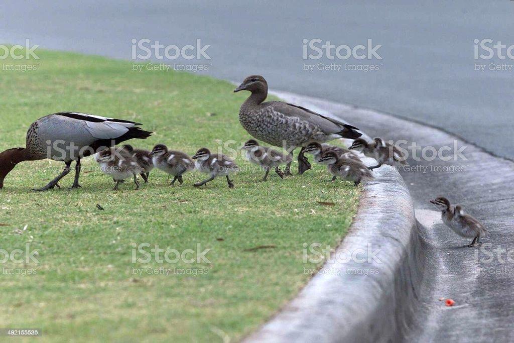 Mutter-Ente und nicht selten Entenküken cross städtischen Straße-Straße und klettern Sie auf dem Bordstein – Foto