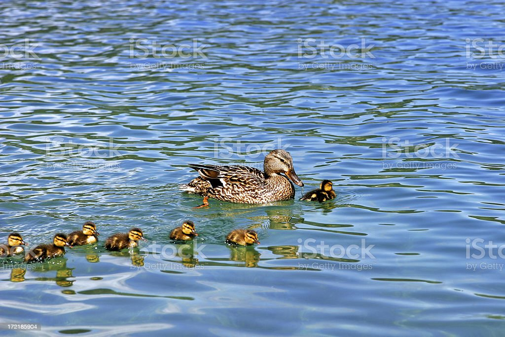 Mother Duck and Ducklings royalty-free stock photo