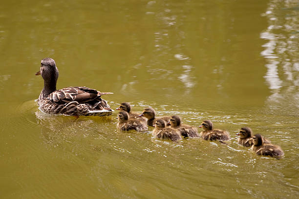 Mother duck followed by eight ducklings stock photo
